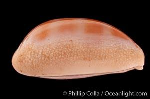 Carnelian Cowrie, Cypraea carneola