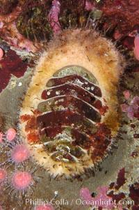 Image 08943, Carnivorous chiton., Placiphorella velata, Phillip Colla, all rights reserved worldwide.   Keywords: animal:california:carnivorous chiton:chiton:invertebrate:marine invertebrate:mollusk:ocean:oceans:pacific:placiphorella velata:underwater:wildlife.
