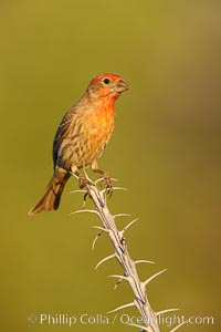House finch, immature. Amado, Arizona, USA, Carpodacus mexicanus, natural history stock photograph, photo id 22901