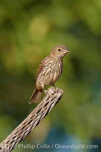 House finch, female. Amado, Arizona, USA, Carpodacus mexicanus, natural history stock photograph, photo id 22909