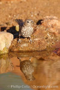 House finch, female. Amado, Arizona, USA, Carpodacus mexicanus, natural history stock photograph, photo id 22915