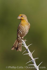 House finch, immature. Amado, Arizona, USA, Carpodacus mexicanus, natural history stock photograph, photo id 22926