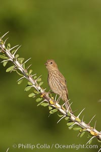 House finch, female. Amado, Arizona, USA, Carpodacus mexicanus, natural history stock photograph, photo id 22983