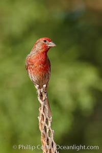House finch, male. Amado, Arizona, USA, Carpodacus mexicanus, natural history stock photograph, photo id 22993