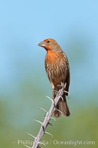 House finch, immature. Amado, Arizona, USA, Carpodacus mexicanus, natural history stock photograph, photo id 22997