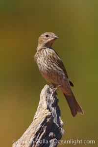 House finch, female. Amado, Arizona, USA, Carpodacus mexicanus, natural history stock photograph, photo id 23000