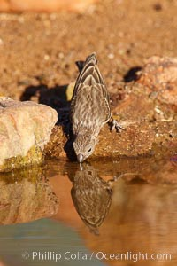 House finch, female. Amado, Arizona, USA, Carpodacus mexicanus, natural history stock photograph, photo id 23058