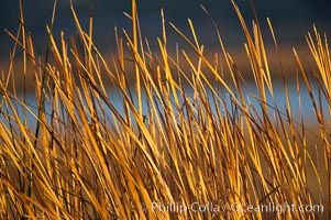 Cattails. Batiquitos Lagoon, Carlsbad, California, USA, natural history stock photograph, photo id 18556