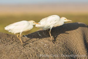 Cattle egrets on elephant, Bubulcus ibis, Amboseli National Park