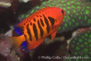 Flame angelfish., Centropyge loricula, natural history stock photograph, photo id 07858