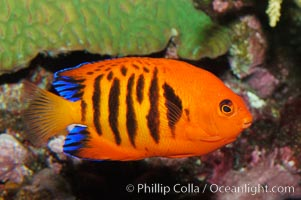 Flame angelfish., Centropyge loricula, natural history stock photograph, photo id 08667