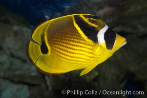 Raccoon butterflyfish., Chaetodon lunula, natural history stock photograph, photo id 13993
