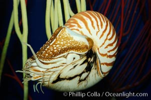 The chambered nautilus is a living fossil whose relatives date back 100s of millions of years. The nautilus lives at great depths (1800) within fore-reef habitats of the Indian and Pacific oceans. It is an active swimmer, propelling itself close to the sea floor by expelling  water from its movable siphon, Nautilus pompilius