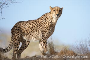 Cheetah., Acinonyx jubatus, natural history stock photograph, photo id 17967