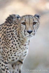 Image 17968, Cheetah., Acinonyx jubatus, Phillip Colla, all rights reserved worldwide.   Keywords: acinonyx:acinonyx jubatus:animal:carnivora:cheetah:felidae:feliformia:felinae:jubatus:mammal.