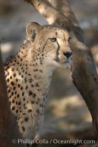 Cheetah., Acinonyx jubatus, natural history stock photograph, photo id 17969