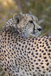 Cheetah., Acinonyx jubatus, natural history stock photograph, photo id 17971