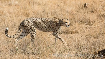 Cheetah, Amboseli National Park. Kenya, Acinonyx jubatus, natural history stock photograph, photo id 29567