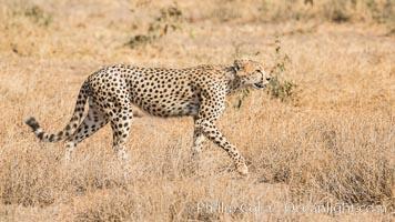 Cheetah, Amboseli National Park. Kenya, natural history stock photograph, photo id 29569