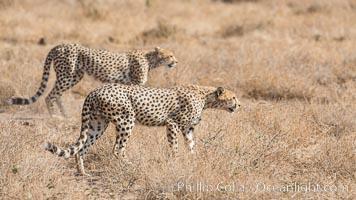 Image 29570, Cheetah, Amboseli National Park. Kenya, Acinonyx jubatus, Phillip Colla, all rights reserved worldwide. Keywords: acinonyx, acinonyx jubatus, africa, amboseli national park, animalia, carnivora, carnivore, cat, cheetah, chordata, felidae, feline, kenya, mammal, mammalia, natural, nature, outdoors, outside, predator, safari, wild, wildlife.
