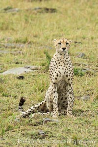 Cheetah, Maasai Mara National Reserve. Maasai Mara National Reserve, Kenya, Acinonyx jubatus, natural history stock photograph, photo id 29843
