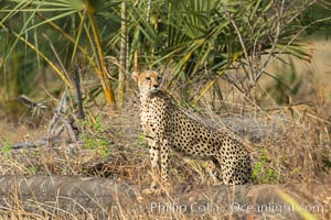 Cheetah, Meru National Park. Meru National Park, Kenya, Acinonyx jubatus, natural history stock photograph, photo id 29618