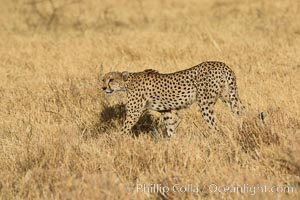 Cheetah, Meru National Park. Meru National Park, Kenya, Acinonyx jubatus, natural history stock photograph, photo id 29624