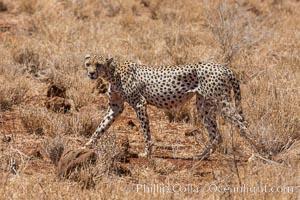 Cheetah, Meru National Park. Meru National Park, Kenya, Acinonyx jubatus, natural history stock photograph, photo id 29665
