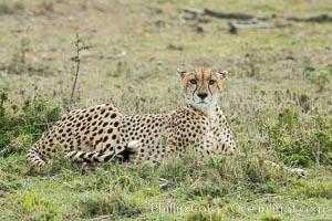 Cheetah, Olare Orok Conservancy, Acinonyx jubatus