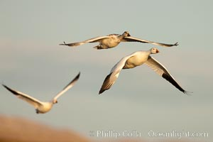 Snow geese in flight, late afternoon light, Chen caerulescens, Bosque Del Apache, Socorro, New Mexico