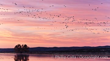 Flocks of geese at sunrise, in flight. Bosque del Apache National Wildlife Refuge, Socorro, New Mexico, USA, Chen caerulescens, natural history stock photograph, photo id 26419