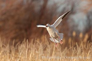 Snow goose in flight. Bosque Del Apache, Socorro, New Mexico, USA, Chen caerulescens, natural history stock photograph, photo id 26265