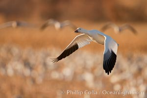 Snow goose in flight. Bosque Del Apache, Socorro, New Mexico, USA, Chen caerulescens, natural history stock photograph, photo id 26268