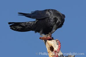 Chihuahuan raven eating the remains of what was likely a duck or a snow goose. Bosque del Apache National Wildlife Refuge, Socorro, New Mexico, USA, natural history stock photograph, photo id 22045