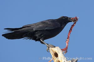 Chihuahuan raven eating the remains of what was likely a duck or a snow goose. Bosque del Apache National Wildlife Refuge, Socorro, New Mexico, USA, natural history stock photograph, photo id 22062