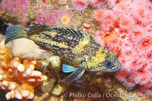 China rockfish, Sebastes nebulosus