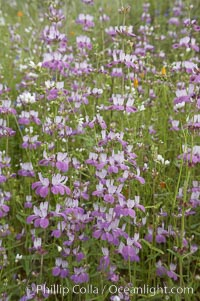 Image 11604, Chinese houses bloom in spring, Lake Elsinore. Lake Elsinore, California, USA, Collinsia heterophylla, Phillip Colla, all rights reserved worldwide. Keywords: california, chinese houses, coastal wildflower, collinsia heterophylla, lake elsinore, plant, usa, wildflower.