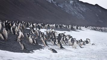 Chinstrap penguins at Bailey Head, Deception Island.  Chinstrap penguins enter and exit the surf on the black sand beach at Bailey Head on Deception Island.  Bailey Head is home to one of the largest colonies of chinstrap penguins in the world. Deception Island, Antarctic Peninsula, Antarctica, Pygoscelis antarcticus, natural history stock photograph, photo id 25462
