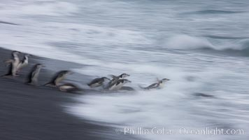 Chinstrap penguins at Bailey Head, Deception Island.  Chinstrap penguins enter and exit the surf on the black sand beach at Bailey Head on Deception Island.  Bailey Head is home to one of the largest colonies of chinstrap penguins in the world, Pygoscelis antarcticus