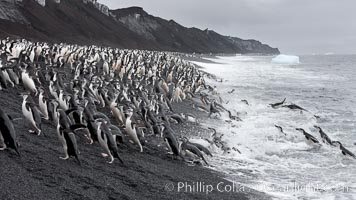 Image 25465, Chinstrap penguins at Bailey Head, Deception Island.  Chinstrap penguins enter and exit the surf on the black sand beach at Bailey Head on Deception Island.  Bailey Head is home to one of the largest colonies of chinstrap penguins in the world. Deception Island, Antarctic Peninsula, Antarctica, Pygoscelis antarcticus, Phillip Colla, all rights reserved worldwide. Keywords: animal, animalia, antarctic peninsula, antarctica, antarcticus, aves, bailey head, bird, chinstrap penguin, chordata, deception island, landscape, oceans, outdoors, outside, penguin, pygoscelis, pygoscelis antarcticus, scene, scenery, southern ocean, spheniscidae, sphenisciformes, vertebrata, vertebrate, view.