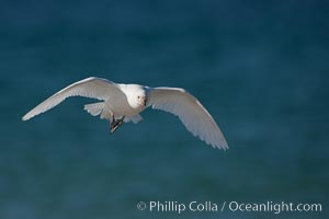 Snowy sheathbill in flight, flying over the ocean, Chionis alba, New Island