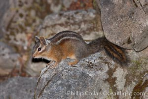 Chipmunk. Oregon Caves National Monument, USA, Tamias, natural history stock photograph, photo id 25871