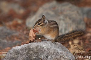 Chipmunk. Oregon Caves National Monument, Oregon, USA, Tamias, natural history stock photograph, photo id 25874