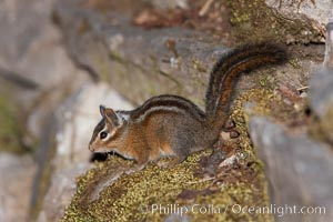 Image 25872, Chipmunk. Oregon Caves National Monument, Oregon, USA, Tamias