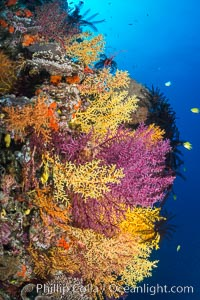 Colorful Chironephthya soft coral coloniea in Fiji, hanging off wall, resembling sea fans or gorgonians. Vatu I Ra Passage, Bligh Waters, Viti Levu  Island, Gorgonacea, Chironephthya, natural history stock photograph, photo id 31681