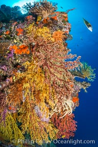 Colorful Chironephthya soft coral coloniea in Fiji, hanging off wall, resembling sea fans or gorgonians, Gorgonacea, Chironephthya, Vatu I Ra Passage, Bligh Waters, Viti Levu  Island