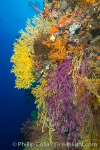 Colorful Chironephthya soft coral coloniea in Fiji, hanging off wall, resembling sea fans or gorgonians. Vatu I Ra Passage, Bligh Waters, Viti Levu  Island, Gorgonacea, Chironephthya, natural history stock photograph, photo id 31698