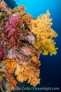Colorful Chironephthya soft coral coloniea in Fiji, hanging off wall, resembling sea fans or gorgonians. Vatu I Ra Passage, Bligh Waters, Viti Levu Island, natural history stock photograph, photo id 34781
