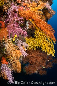Colorful Chironephthya soft coral coloniea in Fiji, hanging off wall, resembling sea fans or gorgonians. Vatu I Ra Passage, Bligh Waters, Viti Levu Island, Fiji, natural history stock photograph, photo id 35027