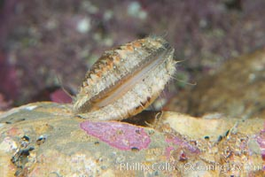 Swimming scallop, Chlamys